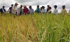 Casi la mitad del arroz que se consume en Bolivia es importado