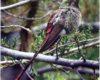 """El """"colibrí de oro"""" es patrimonio natural del municipio de La Paz"""