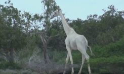Graban por primera vez a las extrañas jirafas blancas en Kenia