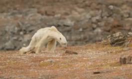 """""""Así se ve el hambre"""", el desgarrador vídeo de un oso polar moribundo en un Ártico sin nieve"""