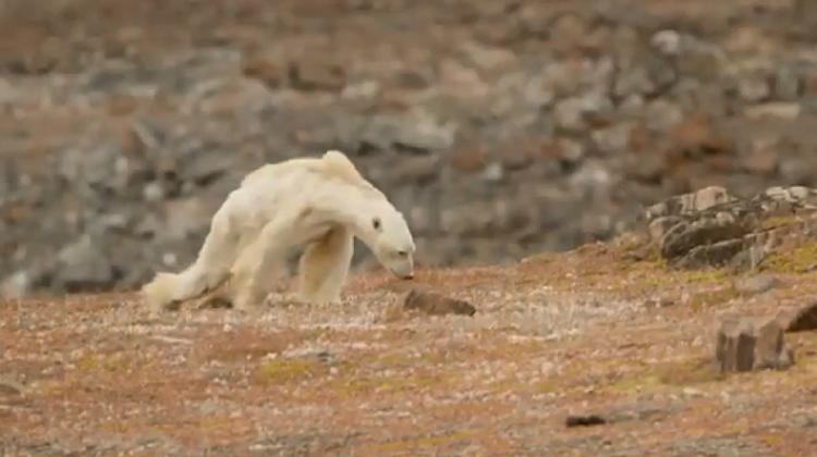 «Así se ve el hambre», el desgarrador vídeo de un oso polar moribundo en un Ártico sin nieve