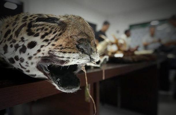 Traficantes chinos exterminan jaguares en Bolivia