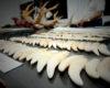 El largo viaje del colmillo de jaguar de Bolivia hasta China
