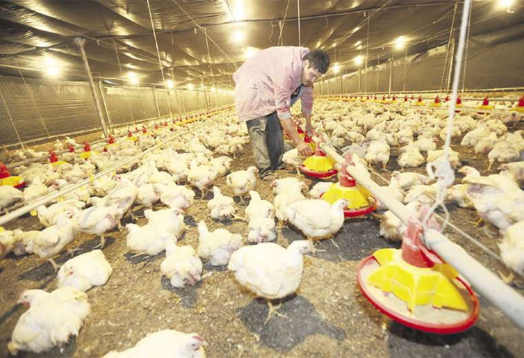 Dejarán de producir 12 millones de pollos para mejorar el precio